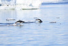 Adelie_Penguin_Flying0015