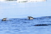Adelie_Penguin_Flying0006