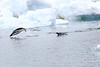 Adelie_Penguin_Flying0042