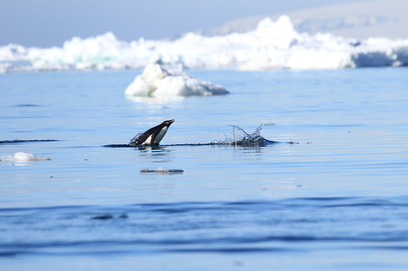 Adelie_Penguin_Flying0008