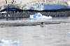Adelie_Penguin_Flying0002