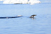 Adelie_Penguin_Flying0012
