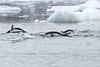 Adelie_Penguin_Flying0043