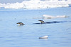 Adelie_Penguin_Flying0017