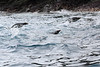 Macaroni_Penguin_Flying0002