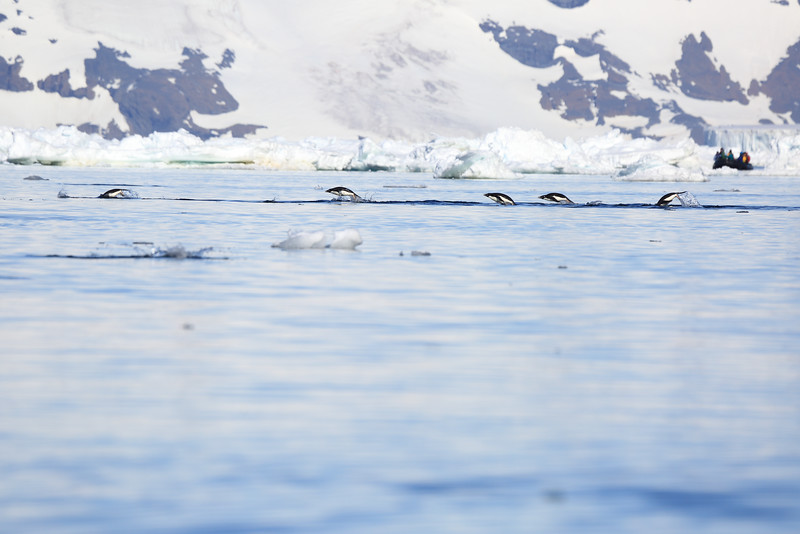 Adelie_Penguin_Flying0009