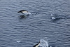 Adelie_Penguin_Flying0019