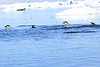 Adelie_Penguin_Flying0004