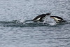 Adelie_Penguin_Flying0021