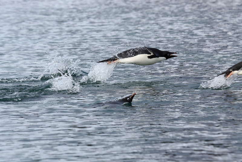 Adelie_Penguin_Flying0022