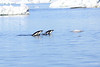 Adelie_Penguin_Flying0010