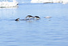 Adelie_Penguin_Flying0011