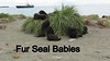 Fur seal babies
