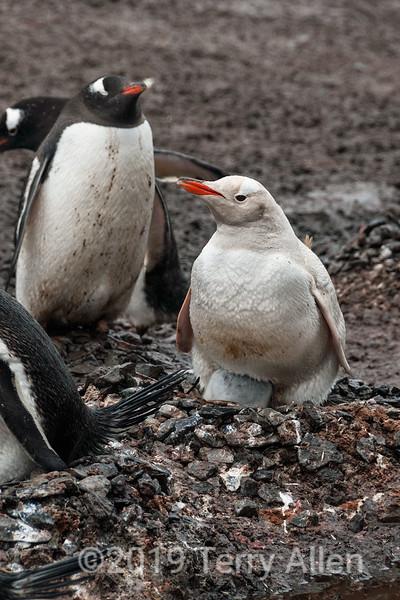 Amelanistic gentoo penguin