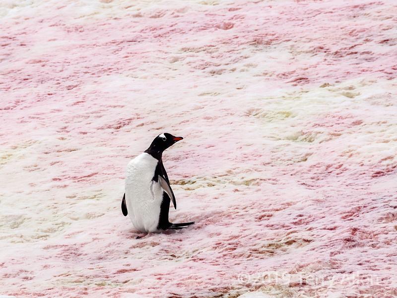Pink snow