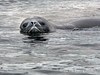 Weddell-Seal-1,-Paradise-Bay,-Antarctic-Peninsula