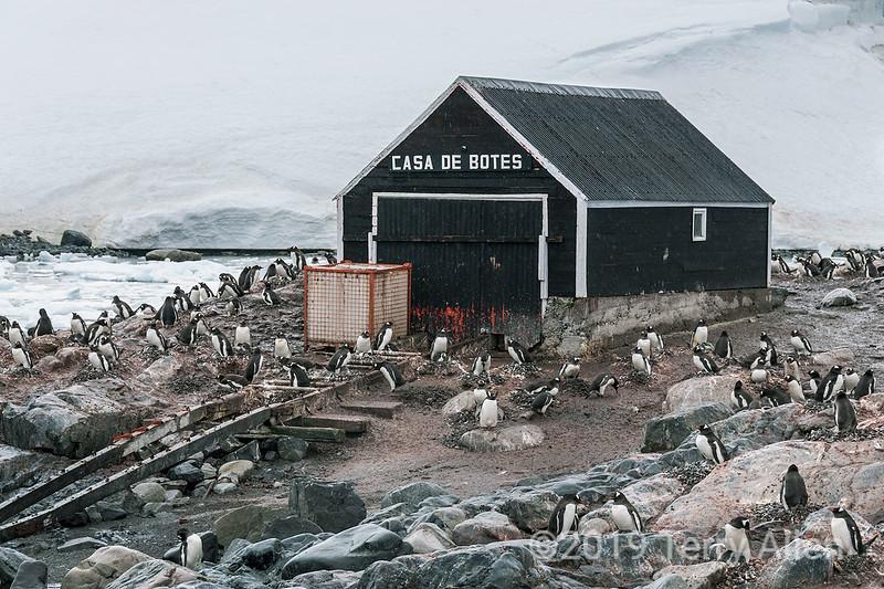 Gentoo-penguins-nesting-by-boat-shed,-Gonzalez-Videla,-Antarctic-Peninsula
