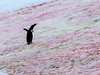Gentoo-penguin-on-algae-stained-snow-2,-Paradise-Bay,-Antarctic-Peninsula