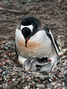 Gentoo-penguin-chick-gets-attention,-Neko-Harbour,-Antarctic-Peninsula