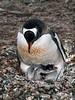 Gentoo-penguin-chick-gets-attention,-Neko-Harbour,-Antarctic-Peninsula