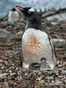 Gentoo-penguin-demanding-attention,-Neko-Harbour,-Antarctic-Peninsula