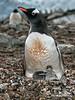 Gentoo-penguin-demanding-attention,-Neko-Harbour,-Antarctic-Peninsula