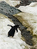 Gentoo-penguin-crossing-algae-laden-stream,-Neko-Harbour,-Antarctic-Peninsula
