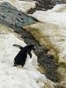 Gentoo-penguin-crossing-algae-laden-stream,-Neko-Harbour,-Antarctic-Peninsula
