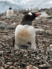 Gentoo-penguin-chick-ignored-by-mother,-Neko-Harbour,-Antarctic-Peninsula
