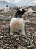 Gentoo-penguin-chick-ignored-by-mother,-Neko-Harbour,-Antarctic-Peninsula