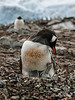 Gentoo-penguin-chick-looking-at-mother,-Neko-Harbour,-Antarctic-Peninsula