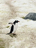 Gentoo-penguin-trying-to-fly,-Couverville-Island,-Antarctic-Peninsula