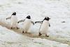 March-of-the-gentoos,-Neko-Harbour,-Antarctic-Peninsula