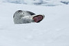 Leopard_Seal_0050