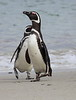 Magellenic Penguin Falkland Islands-14