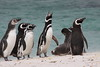 Magellenic Penguin Falkland Islands-4