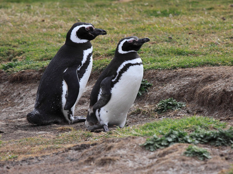 Magellenic Penguin Falkland Islands-12