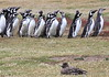 Magellenic Penguin Falkland Islands-13