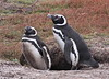 Magellenic Penguin Falkland Islands-10