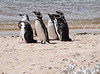 Magellenic Penguin Falkland Islands-1