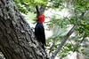 Magellenic_Woodpecker (1)