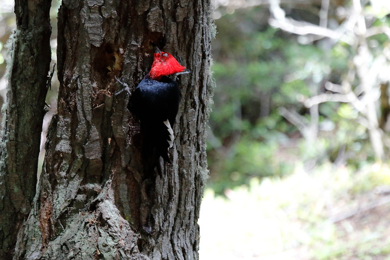 Magellenic_Woodpecker (3)