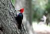 Magellenic_Woodpecker (9)