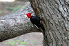 Magellenic_Woodpecker (5)