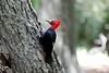 Magellenic_Woodpecker (8)