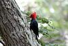 Magellenic_Woodpecker (11)
