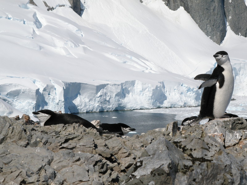 Chinstrap penguins along the route