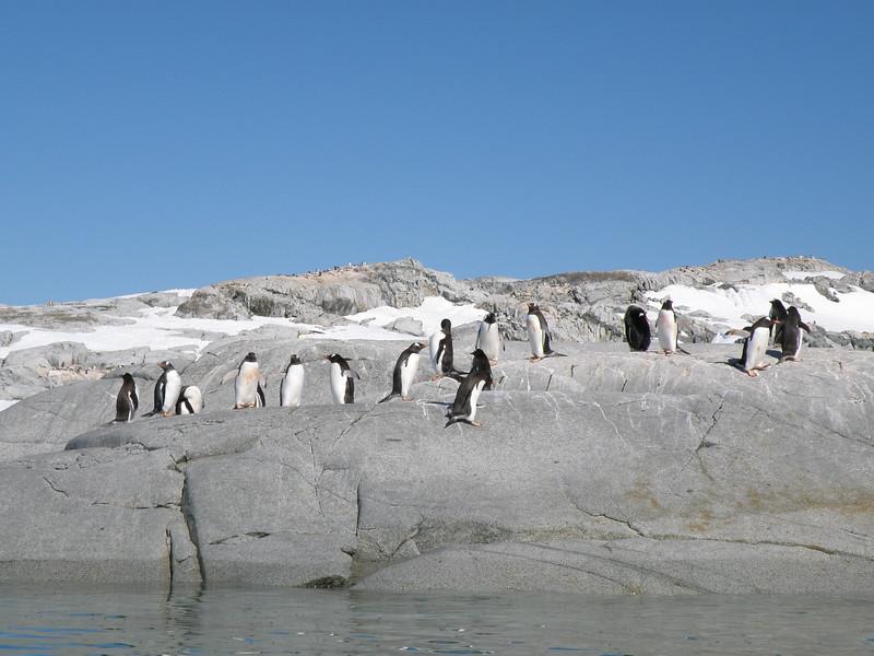 Gentoo penguins hanging out