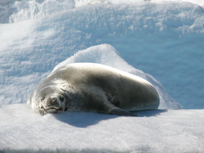 Sunbathing Crabeater seal