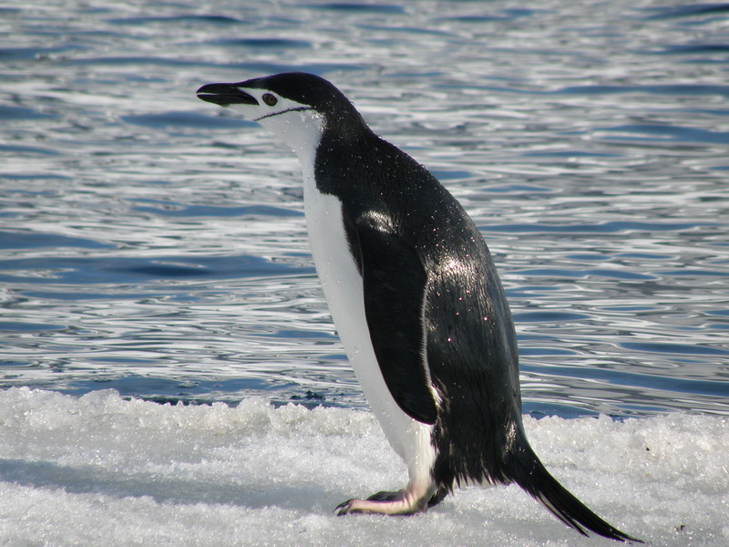Chinstrap penguin just out of the water